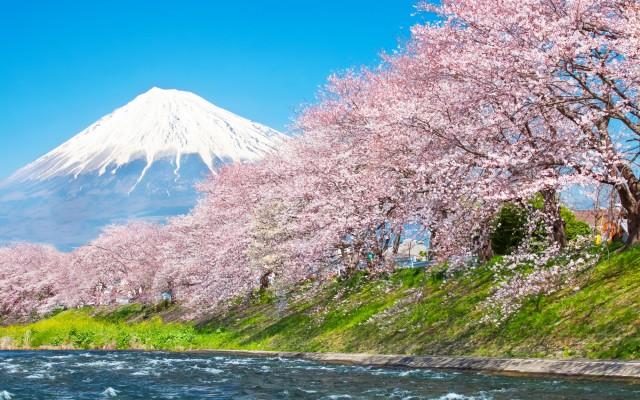 beautiful-mountain-fuji-and-sakura-cherry-blossom-in-japan-spring-season-copy